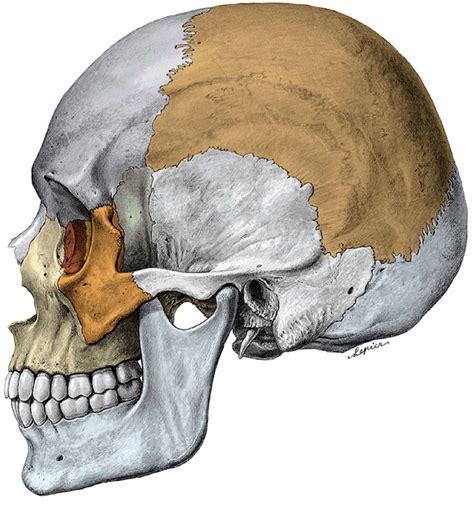 imagenes de huesos temporales odontolog 237 a para principiantes anatom 237 a tema 2 huesos