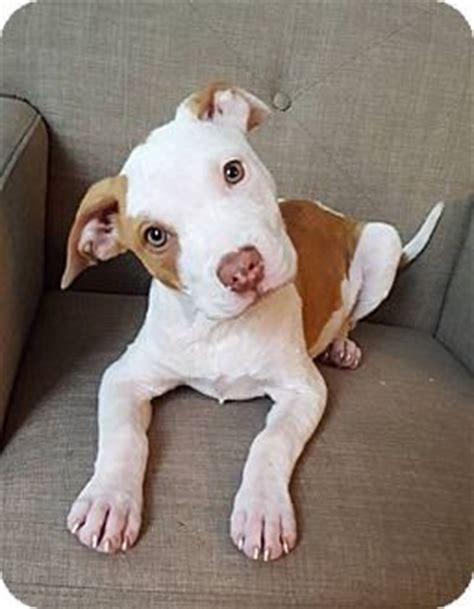 pitbull terrier puppies for adoption pit bull mydogpets