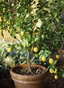Meyer Lemon Patio Tree by How To Grow Meyer Lemon Trees In Garden Pots