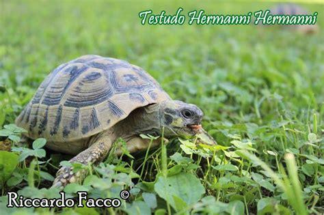 tartaruga hermanni alimentazione testudo hermanni scheda riassuntiva tartapedia