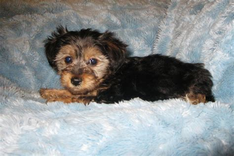 yorkie poo personality traits yorkipoo tlc puppy