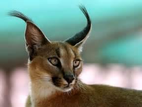 the caracal cat beautiful big cat photograph