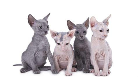 imagenes egipcias de gatos cr 237 as de gato esfinge