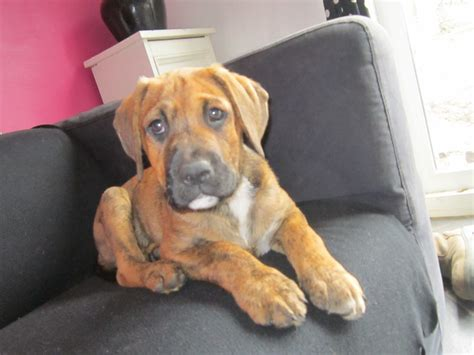 boxer rottweiler puppies boxer staff neo mastiff rottweiler cross rushden northtonshire pets4homes