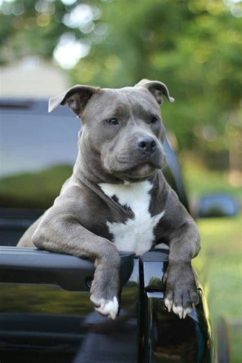 pit pictures images photos pitbulls are dogs