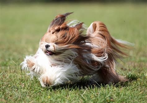 shih tzu running 17 best images about animals on cat tights shih tzu and cats