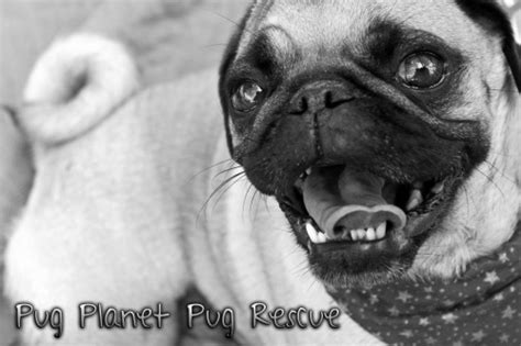 planet of the pugs pug planet pug rescue quot the planet of pug quot
