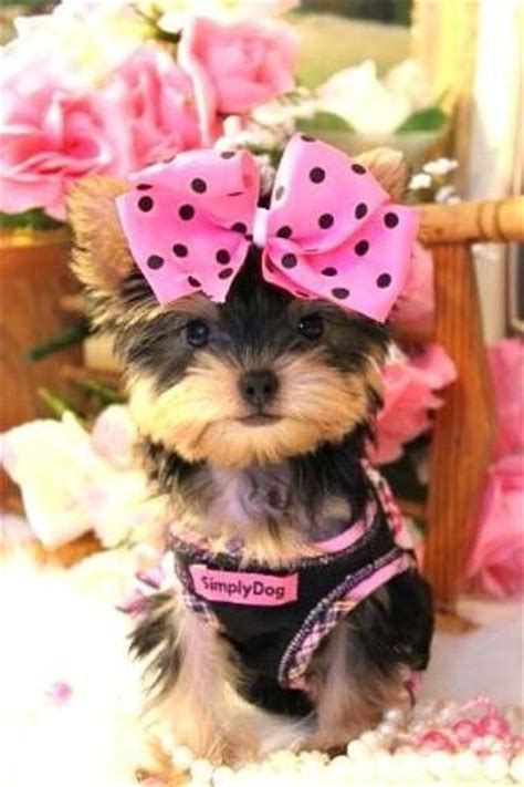 teacup yorkie bows 461 best images about animals on