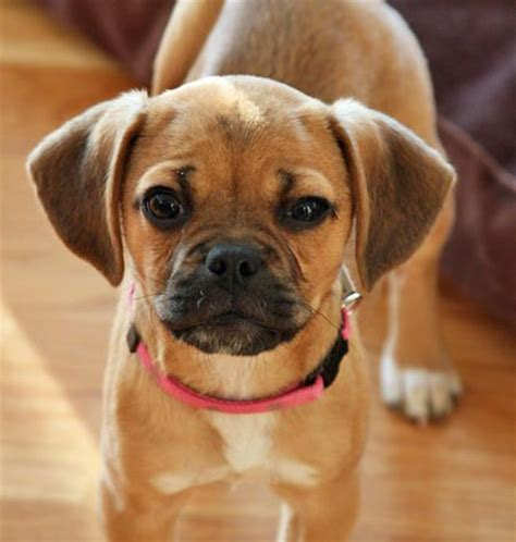 cherry eye pug puggle not in the housenot in the house