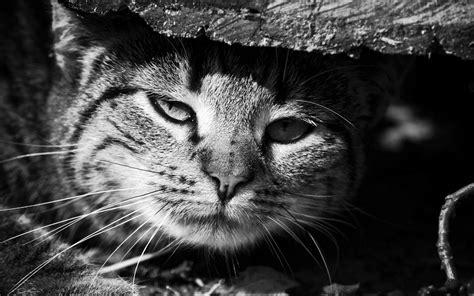 monochrome animals monochrome cat animals hd wallpapers desktop and