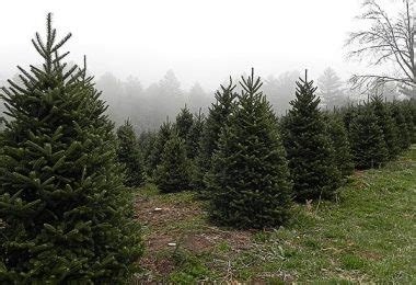 christmas tree farms in mystic ct connecticut weekender events things to do in ct