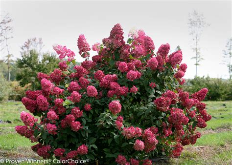 Canada Gardening Zones - fire light 174 panicle hydrangea hydrangea paniculata images proven winners
