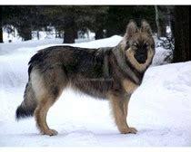 Do Alsatians Shed by Alsatian Shepalute Dogs Alsatian Shepalute Breed