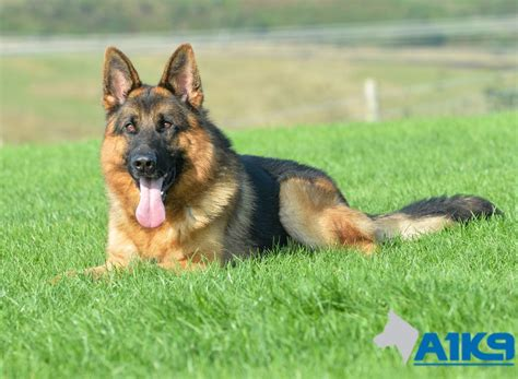 trained dogs trained dogs for sale uno a1k9 family protection trainers