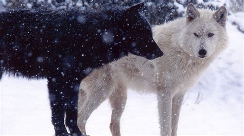 black and white wolf 18 desktop background wolves wallpaper animal wallpapers 31641