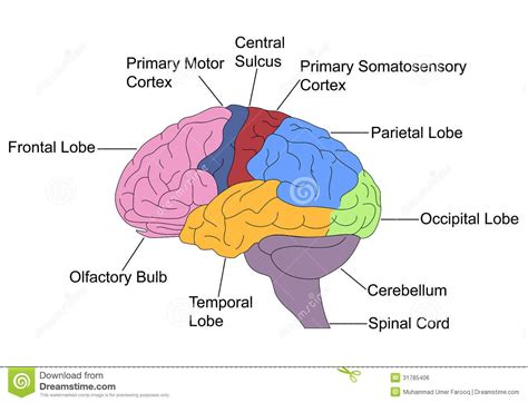 brain sections labeled brain clipart labeled clipartsgram com