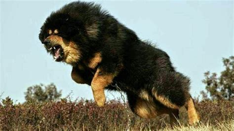 top 10 dangerous dogs top 10 dangerous