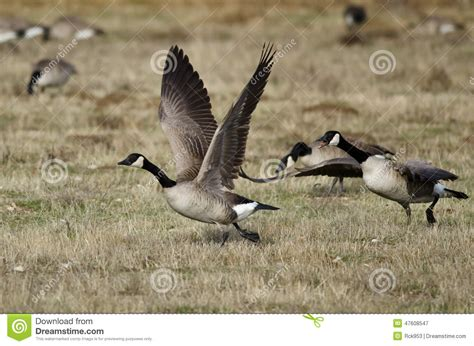 taking a to canada canada geese taking to flight from an autumn field stock photo image 47608547
