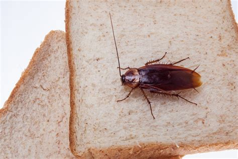 do roaches eat bed bugs 34 amazing cockroach facts secrets you want to hear pestwiki