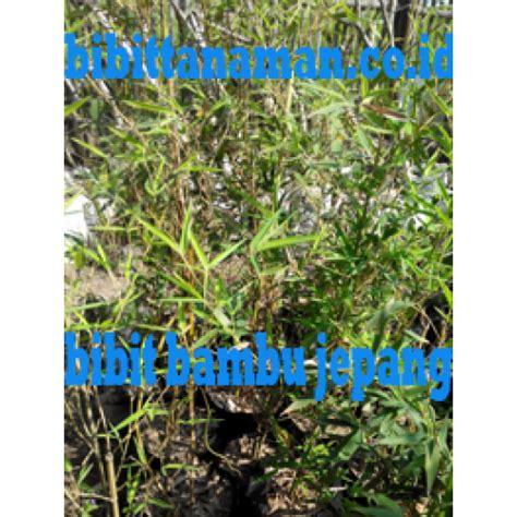 Jual Bibit Bambu Pagar jual bibit tanaman unggul murah di purworejo