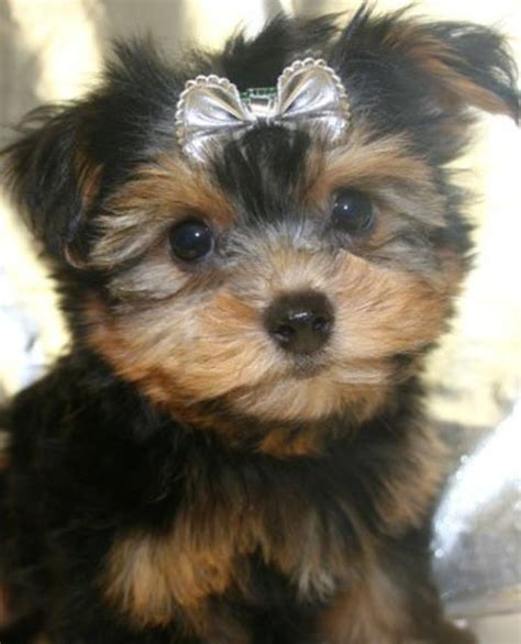 trained yorkie for sale baby yorkies for sale in hoobly classifieds