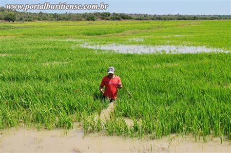 plantadores de arroz portal buritiense ausencia de barragens causa novo