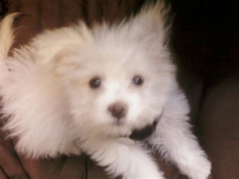 pomeranian and maltese mix puppies for sale welcome to memespp