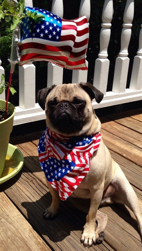 american pug patriotic pug happy 4th of july american friends dogs god bless