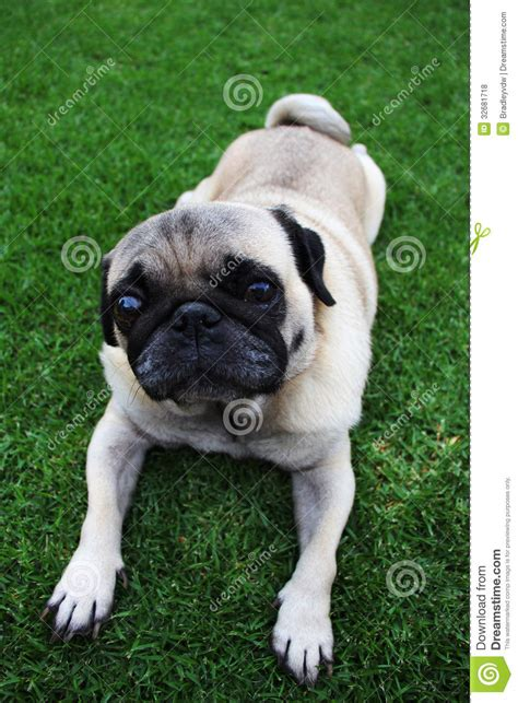 beige pug pin pug beige free desktop wallpaper in the resolution 1920x1200 on