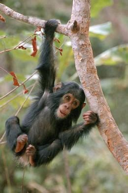 similarities  chimpanzees  humans    african apes  exploited