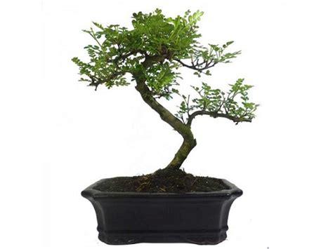 bonsai drzewko szczescia