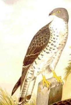 rene clair kimdir 199 aylak kuşu hakkında bilgi