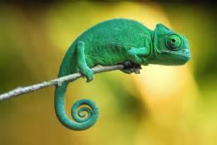 animal that changes color chameleon random photographs and chameleon web