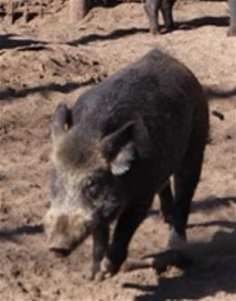 Michigan Court Of Appeals Search Court Of Appeals Upholds Michigan Ban On Boar Interlochen