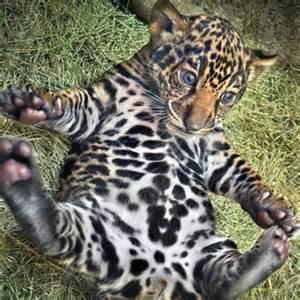 Baby Jaguar Baby Jaguar