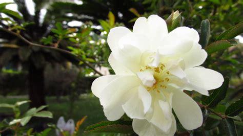 fiori simili alle calle fiori bianchi simili alle kwckranen