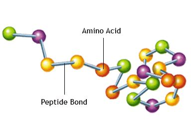 a protein is a polymer that is made of nucleic acid and polymers on