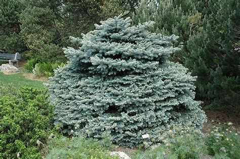 pino nano da giardino pino argentato alberi abete argentato