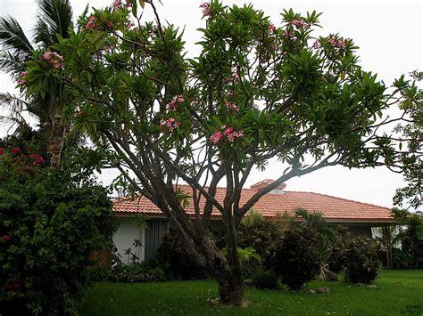 plumeria tree florida plumeria tree fort lauderdale florida a photo on