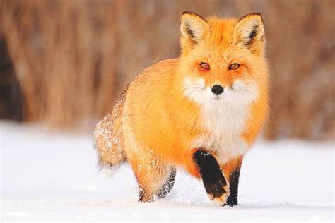 imagenes en movimiento de zorros que come el zorro donde viven como nacen