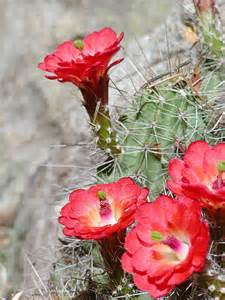 desert flower 9 best images about desert flowers on pinterest the