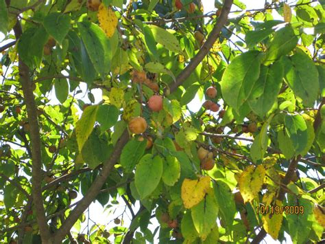 can anyone identify this fruit bearing tree in nc grow - Fruit Bearing Trees Identification