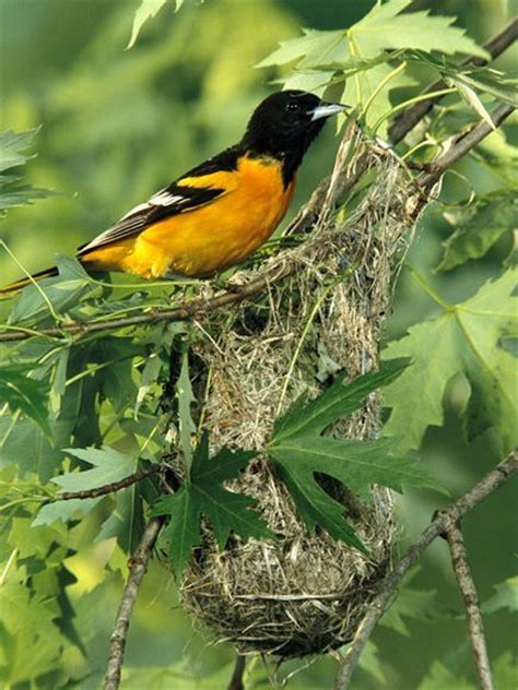 25 best ideas about baltimore orioles birds on pinterest