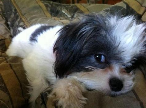 shih tzu alabama 372 best images about shih tzu on yorkie and for sale