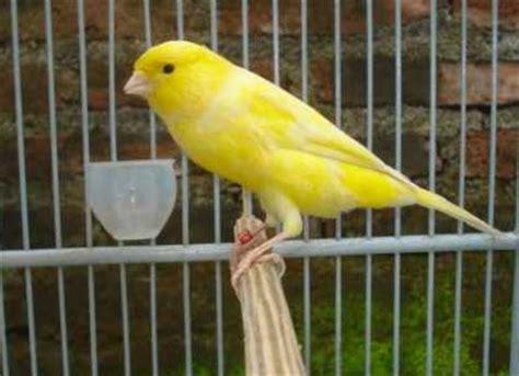 Lu Gantung Di Kenari kicau alam daftar harga burung terbaru 2015