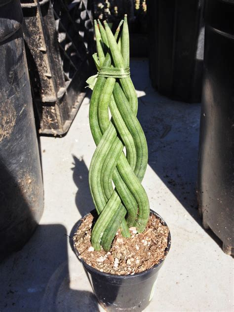 unusual houseplants succulents sansevieria cylindrica straight