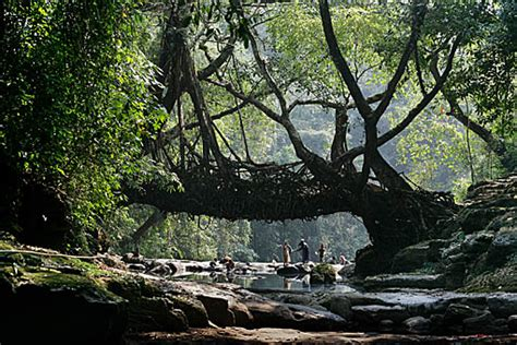 living bridges living root bridges timothy allen