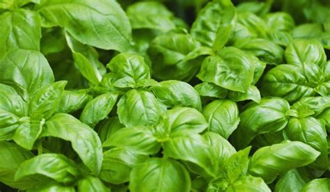 1000 ideas about preserving basil on pinterest preserve freezing parsley and basil