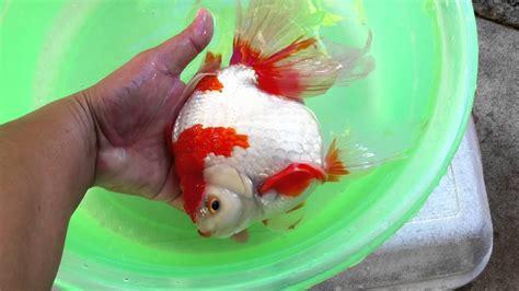 make new year goldfish jumbo ryukin musashi 3 year 8 inches