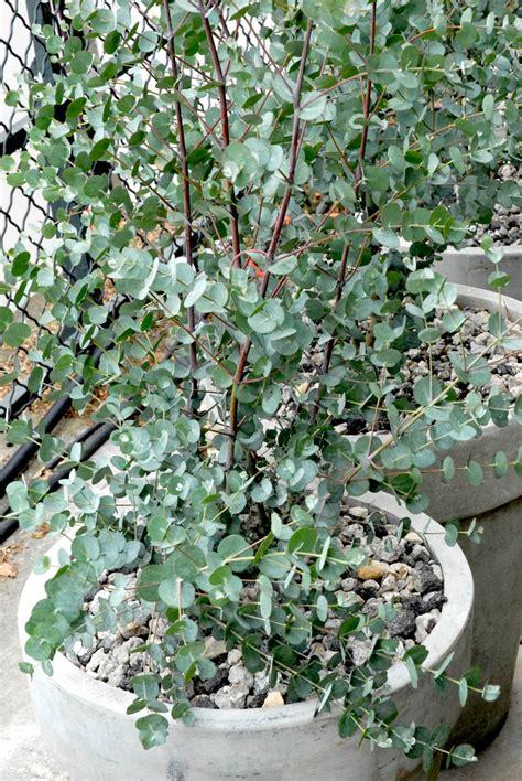 Comment Tailler Un Eucalyptus by Eucalyptus Planter Et Tailler Ooreka